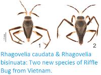 http://sciencythoughts.blogspot.co.uk/2017/01/rhagovelia-caudata-rhagovelia-bisinuata.html