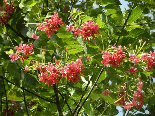 मधुमालती का पौधा मधुमेह के लिए लाभदायक है