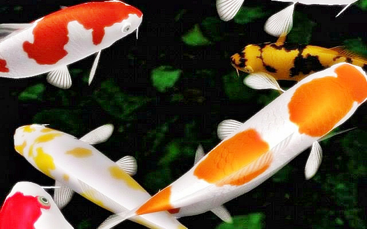 Memelihara Ikan Koi - Akuarium Ikan Hias