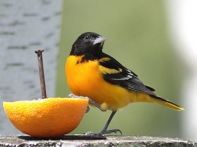 Baltimore Oriole - Facts, information and pictures 7