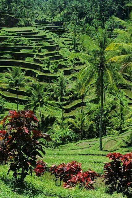 Pemandangan Sawah di Desa Bali