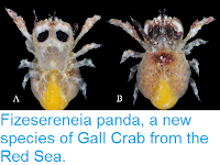 http://sciencythoughts.blogspot.co.uk/2015/04/fizesereneia-panda-new-species-of-gall.html