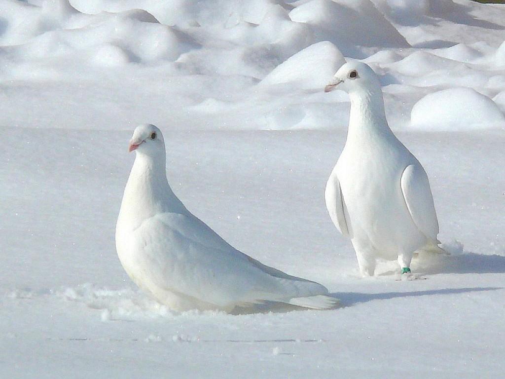 White Pigeon Wallpaper