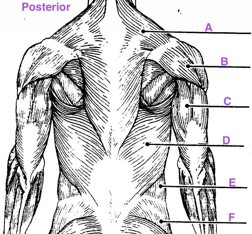 muscle anatomy quiz