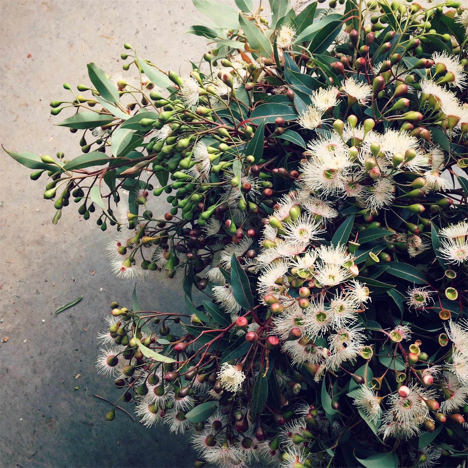 Swallows nest farm july 2017 highlights were added with a stunning flowering gum that has white flowers but red buds they came from a very large mature tree that was completely mightylinksfo