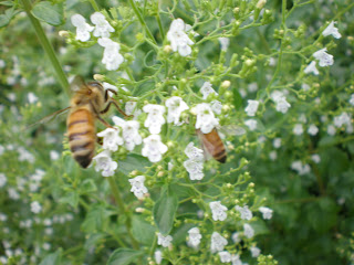 bee, beekeeping, foraging, nectar,