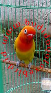 Kumpulan Macam Jenis Penyakit Lovebird