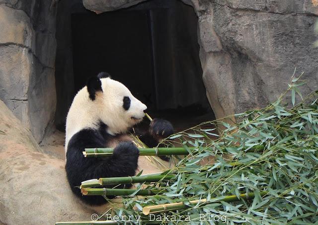 berry dakara, atlanta, zoo, zoo atlanta, travel atlanta, discover georgia, atlanta tourist, giant panda, panda