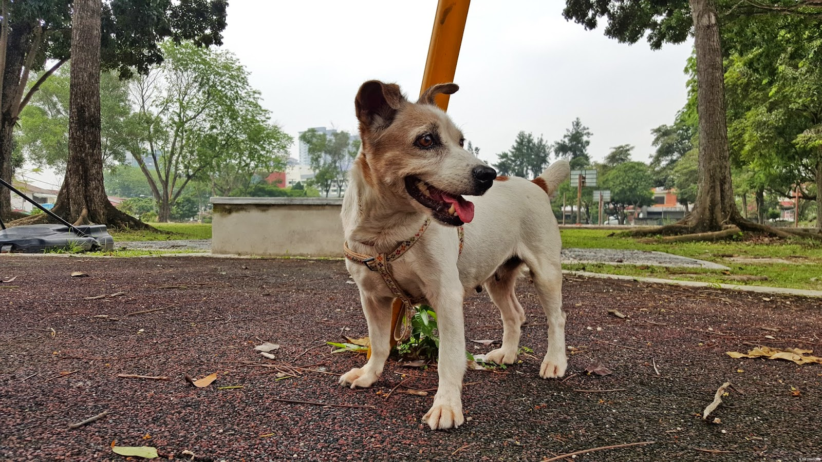 galaxy-s6-sample-image-dog-malaysia-jack-russell