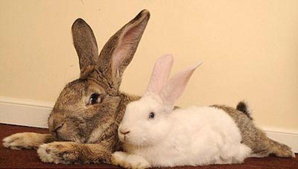 Kỹ thuật nuôi thỏ đẻ