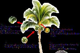 Memetik Hikmah dari Pohon Kelapa: Bahagianya Menjadi Pohon Kelapa