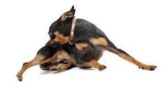 como quitarle la comezon al perro