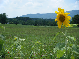 sunflower in field with mountains in distance