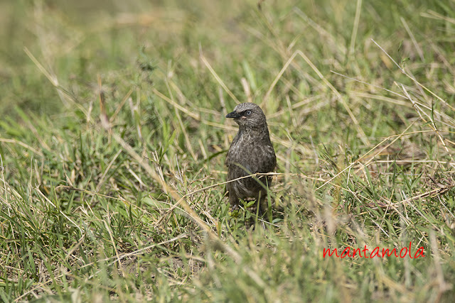Black-lored babbler or Sharpe's pied-babbler (Turdoides sharpei)