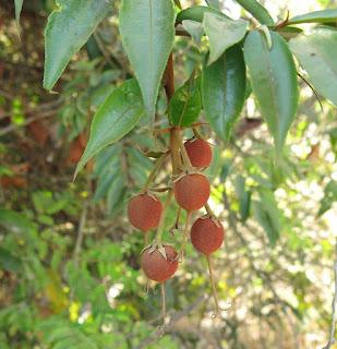 Mabea angustifolia, Euphorbiaceae