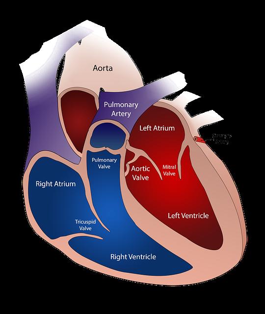 Jantung dan Pembuluh Darah