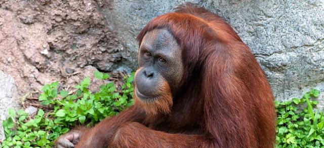 Orangutan y zoologia