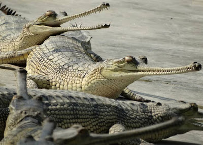Gharial - Animals With letter G
