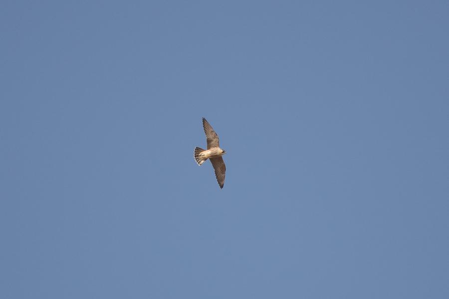 Barbary Falcon - Falco pelegrinoides