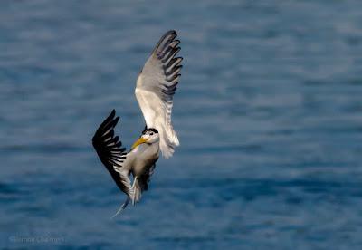 Birds in Flight Informal Shoot @ Woodbridge Island 11 June 2016