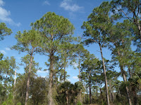 Pine forest by the Myakka River
