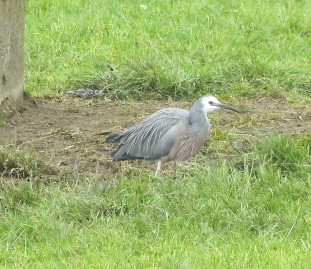 heron-in-paddock
