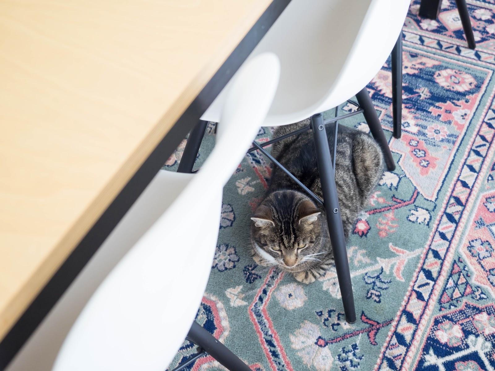 Talostakoti kissa