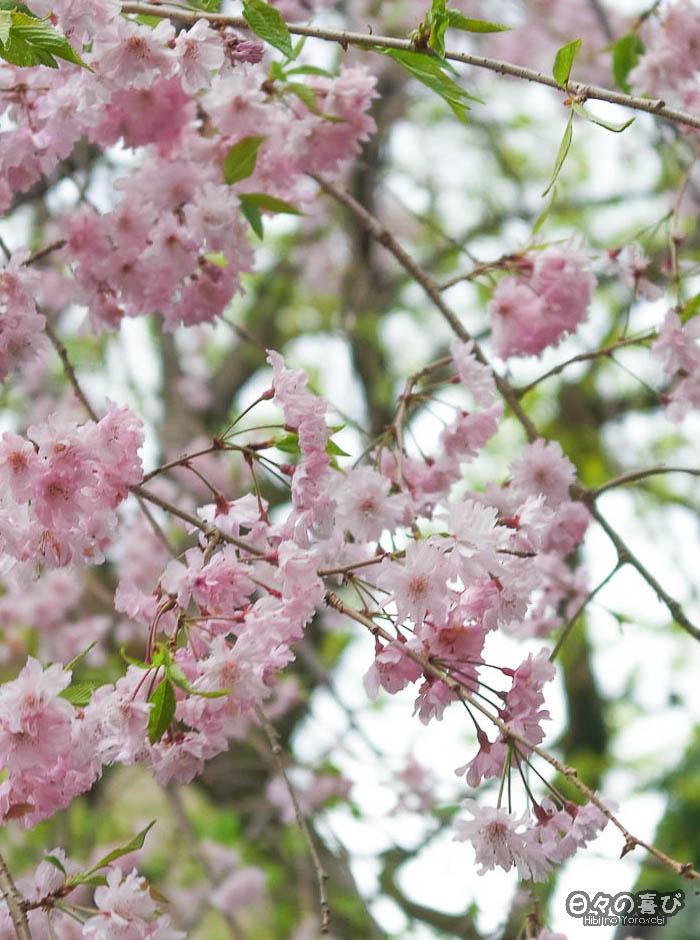 focus sakura dans les branches