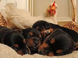 Чужих не бывает животные кормят чужих зверей курица и собаки