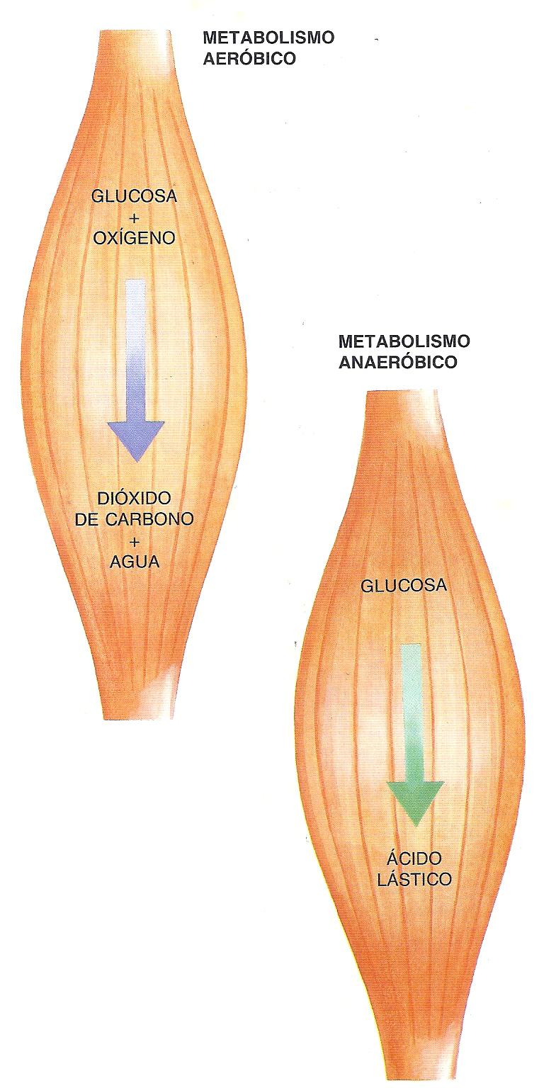 metabolismo de la glucosa en el musculo