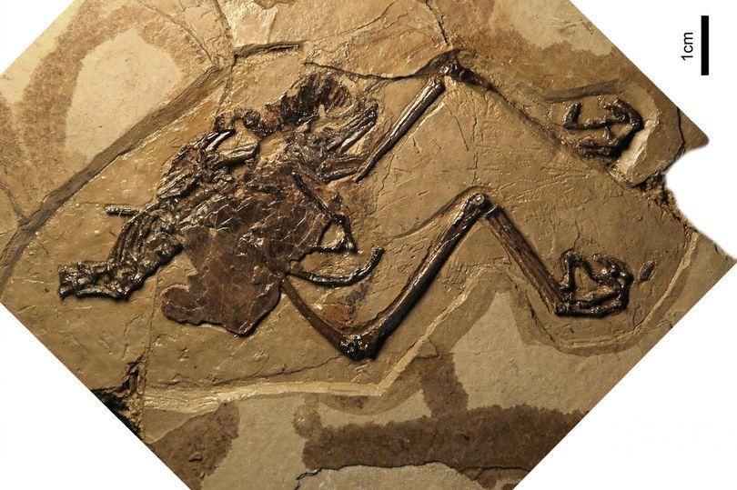 Estudian chinos el primer fósil de ave con un huevo preservado en el vientre