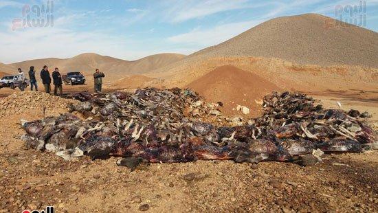 بالصور.. العثور على 250 حمارا مذبوحا بمنطقة جبلية فى سوهاج