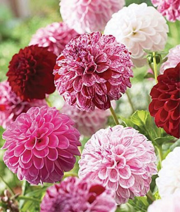 Dahlia Pot Luck, from a singular tubular stalk this dahlia will spring dozens of flowers of different colours.