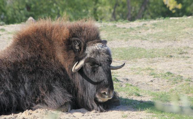 musk ox lying down