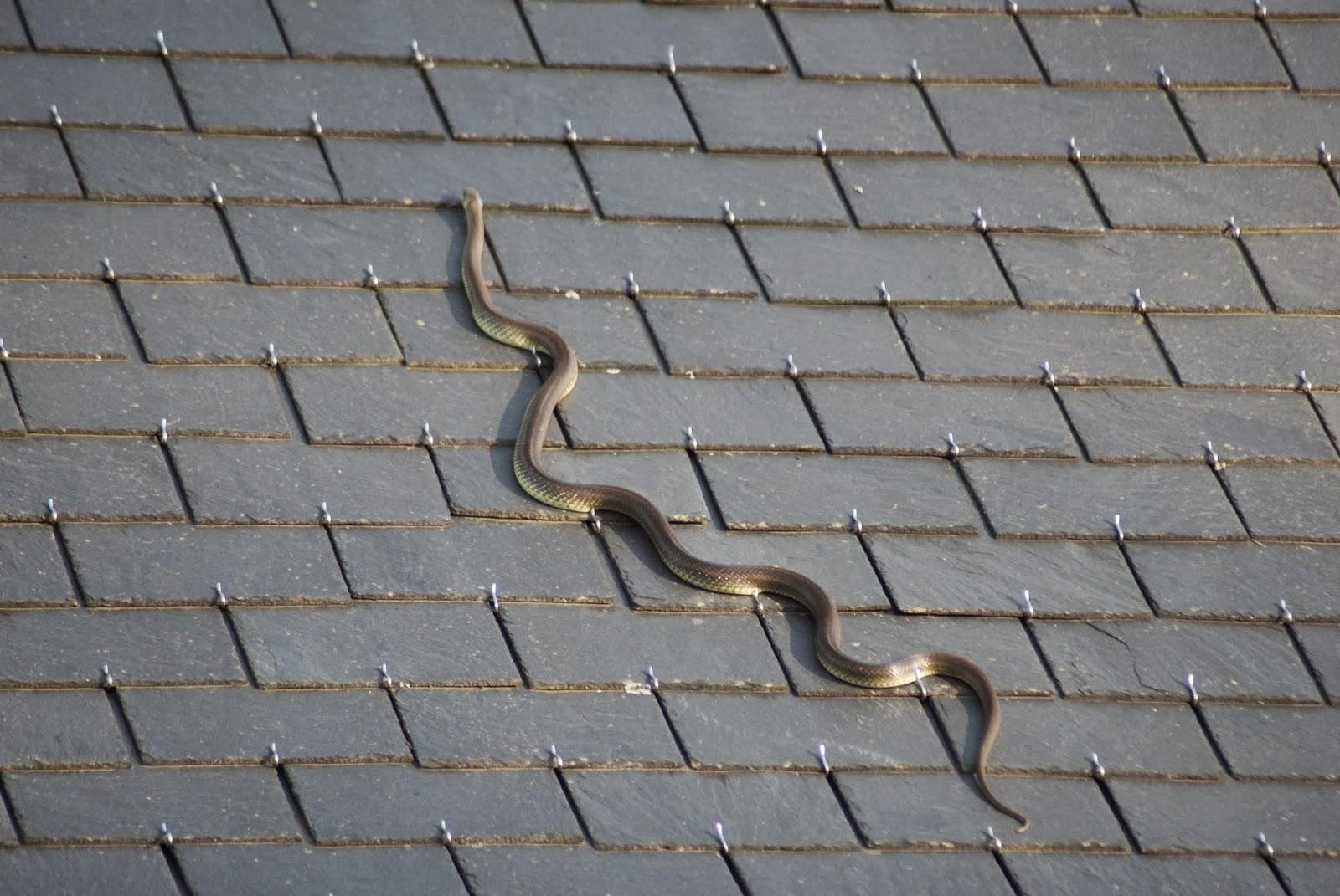 Afbeeldingen Slangen In Frankrijk