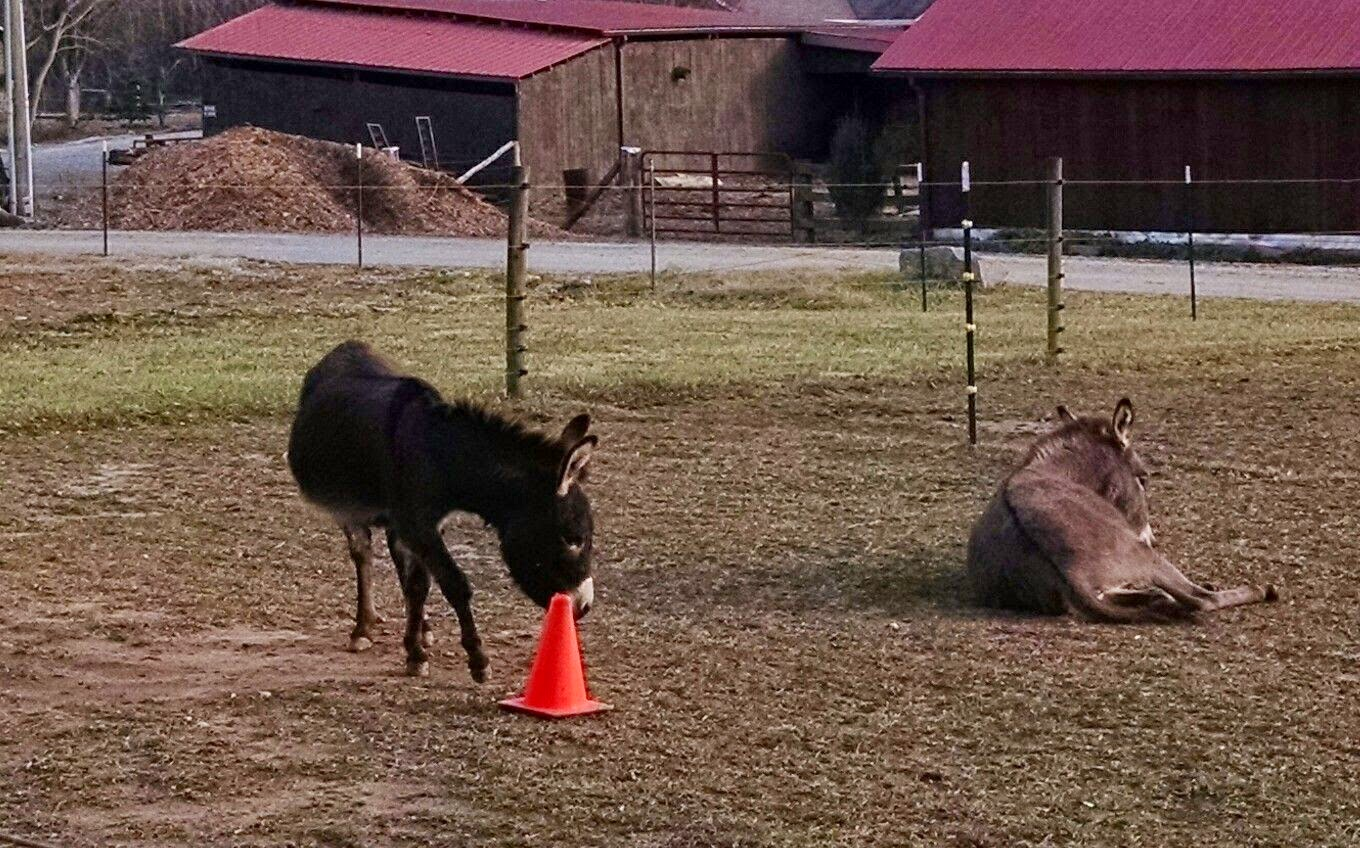 two miniature donkeys one laying down and one with toy