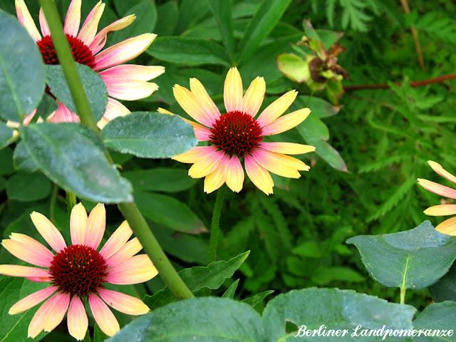Sonnenhut - Echinacea
