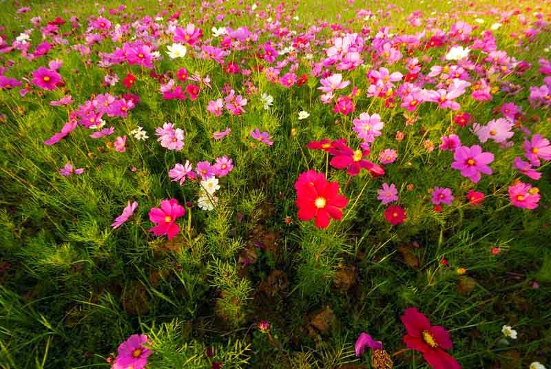 field of blossoming cosmos, flowers
