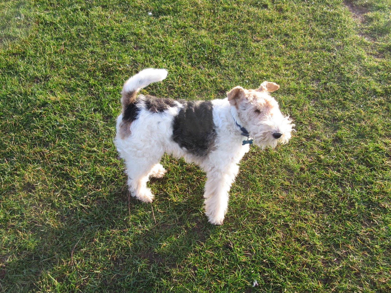 Bouncing Bertie\'s Blog: Wire-haired fox terrier problems (1)