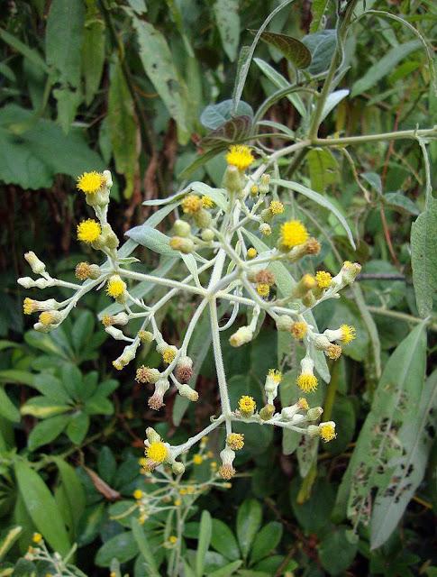 Hoa Đại Bi (Long não hương) - Blumea balsamifera - Nguyên liệu làm thuốc Chữa Cảm Sốt