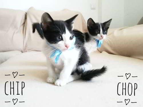mestizos gato comun