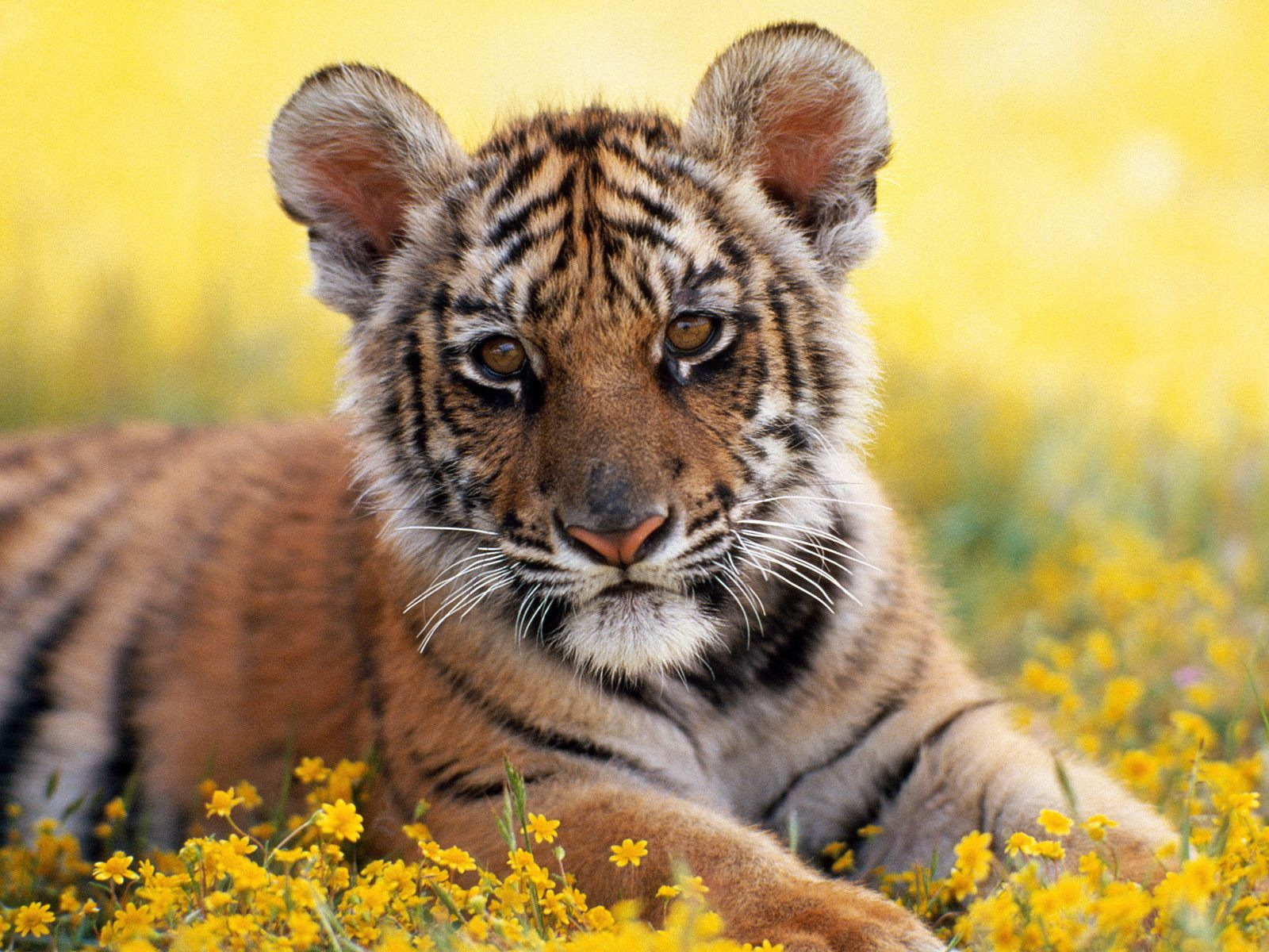 One Pic: Cute Baby Tiger Wallpaper