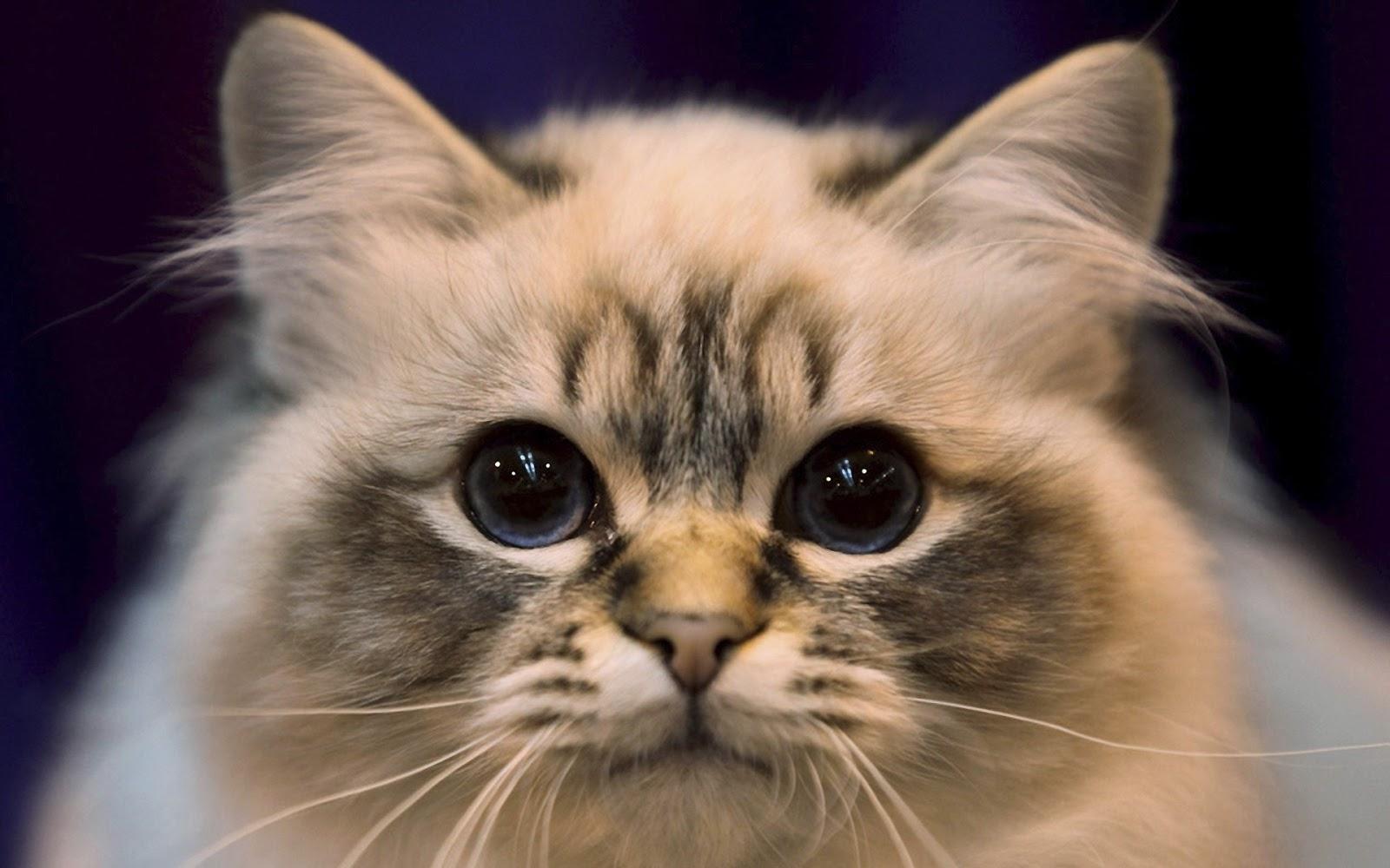 cats cat close kitty pretty kitten kittens cutest sweet adorable face very cutie wallpapers kat