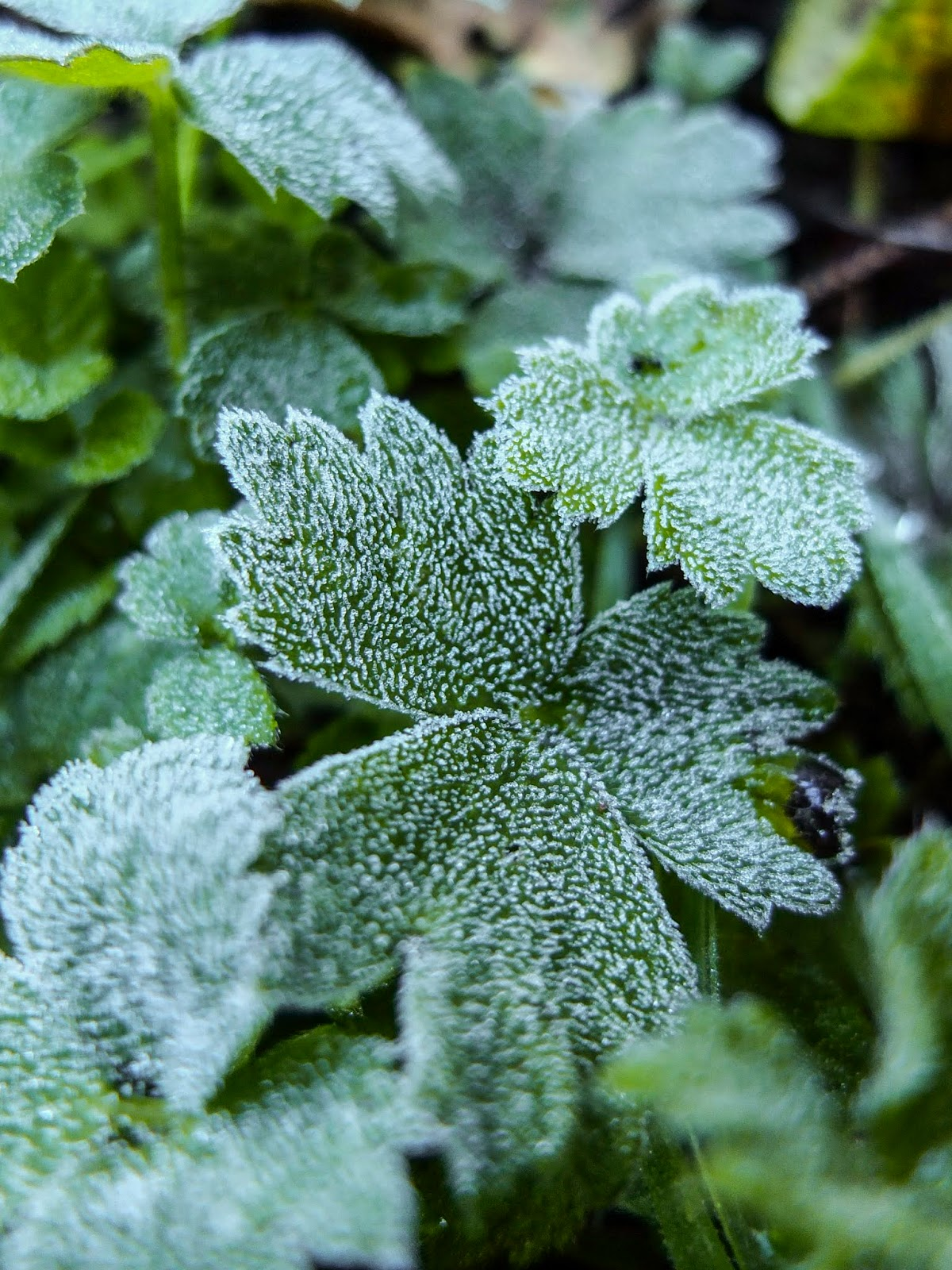 Close up of green frosty leaves.