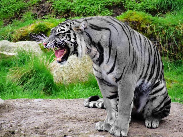 tigre-azul