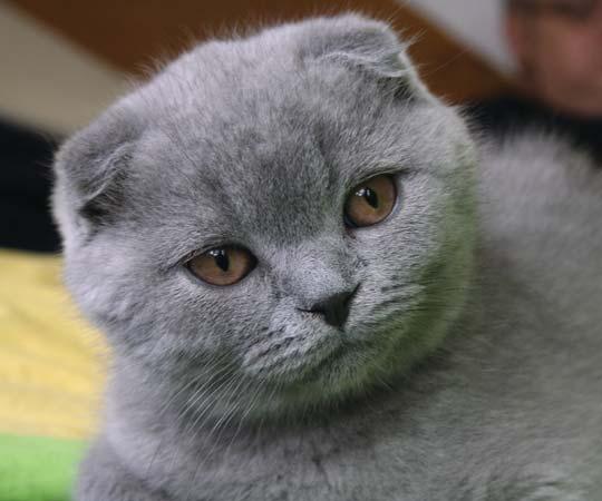 Scottish Fold Cats salah satu kucing paling mahal di dunia