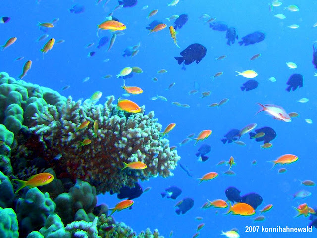 Northern Red Sea, reef fish, tropical sea, scuba diving