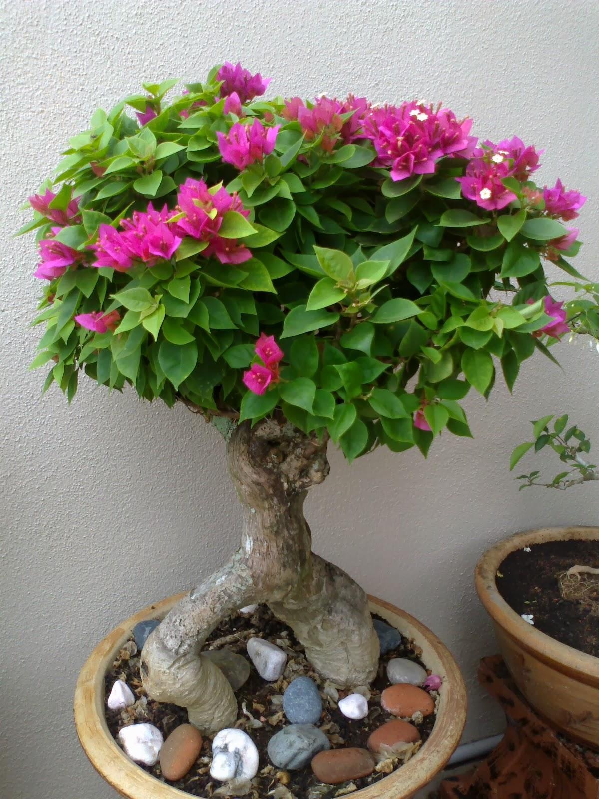 AlmansuQie s Bonsai Bonsai Bunga Kertas Junjung Sirih