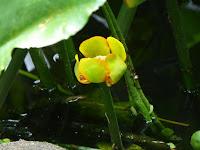 花博記念公園鶴見緑地 ため池 コウホネの花