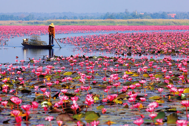 Udon Thani's Amazing Red Lotus Sea